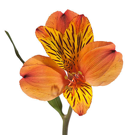 Alstroemeria, Orange (Choose 50 or 90 stems)