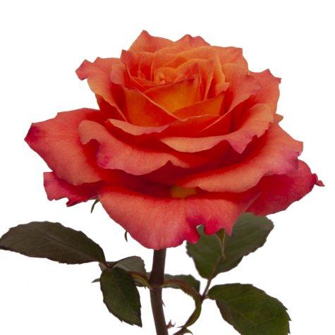 Garden Roses, Free Spirit (36 stems)