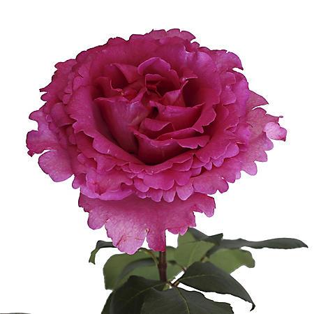 Garden Roses, Yves Piaget (36 stems)