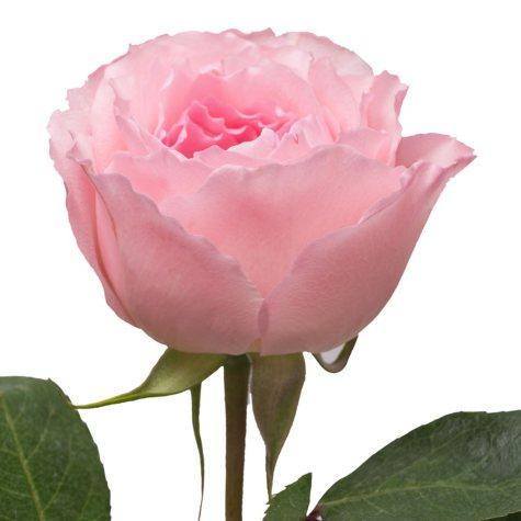 Garden Roses, Mayra's Rose (36 stems)