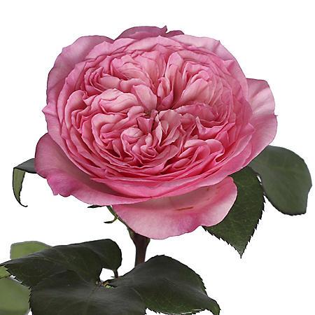 Garden Roses, Maria Theresia (36 stems)