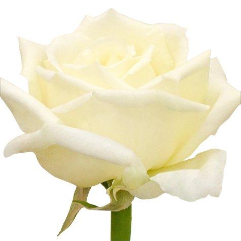 Garden Roses, Vitality (36 stems)