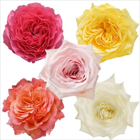 Garden Roses, Assorted Colors (50 stems)
