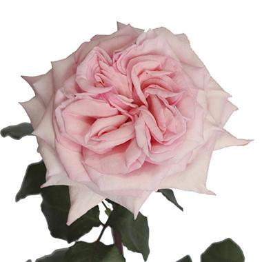 Garden Roses, Pink Ou0027Hara (36 Stems)