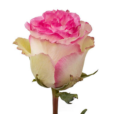 Roses, Bicolor White and Pink (50 stems)