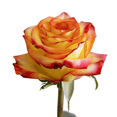 Roses, Bicolor Yellow and Red (choose 50 or 125 stems)