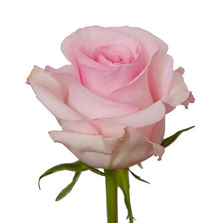 Roses, Light Pink (Choose 50 or 125 stems)