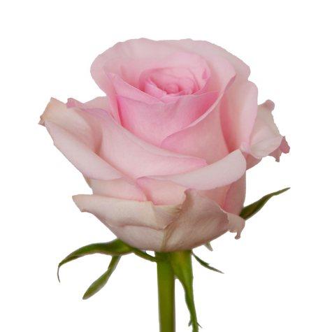 Roses, Light Pink (Choose 50 or 125 stems)