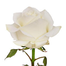 Roses, White (50 stems)
