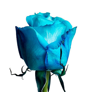 Roses, Tinted Turquoise (choose 50, 75 or 100 stems)