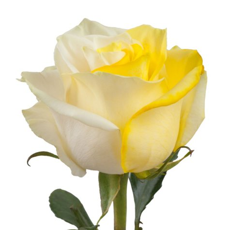 Roses, Tinted Yellow and White (choose 50, 75 or 100 stems)