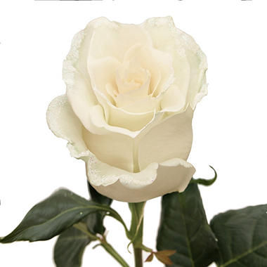 Roses, White with Iridescent Glitter (choose 50 or 100 stems)
