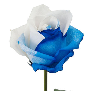 Roses, Tinted Blue and White (choose 50, 75 or 100 stems)