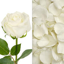 Roses and Petals Combo, White (75 stems and 2,000 petals)