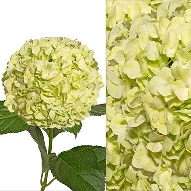 Hydrangea and Petals Combo, Lime Green (20 stems and 8 packs)