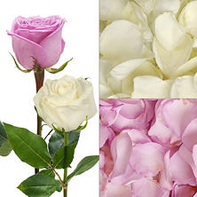 Roses and Petals Combo Box, Lavender and White (75 stems)