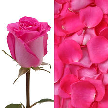 Roses and Petals Combo Box, Hot Pink (75 stems)