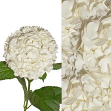 Hydrangeas and Petals Combo - White