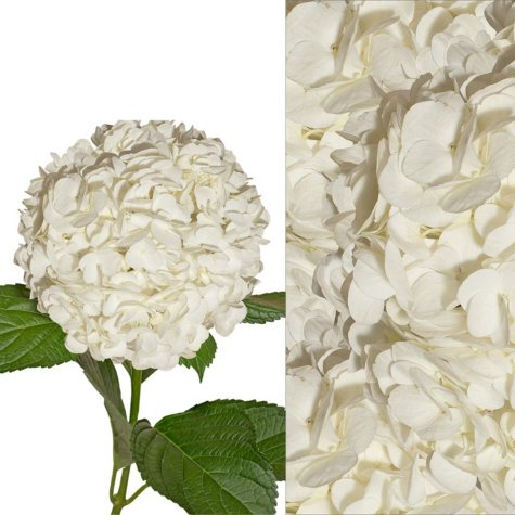 Hydrangea and Petals Combo, White (20 stems and 8 packs)
