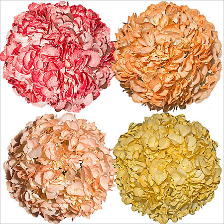 Hydrangeas, Hand Painted Fall Colors (26 stems)