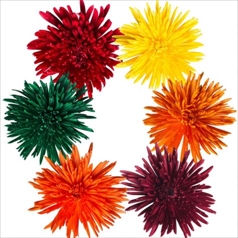 Spider Mums - Painted Fall Assorted - 100 Stems