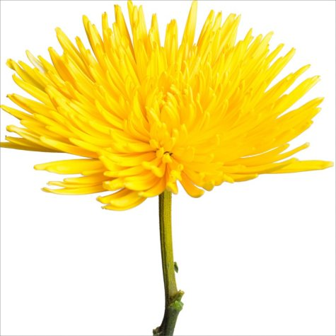 Spider Mums - Painted Yellow (100 Stems)