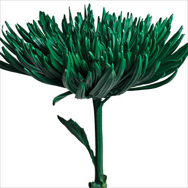 Spider Mums - Painted Kelly Green - 100 Stems