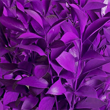 Ruscus - Painted Pastel Purple - 120 Stems