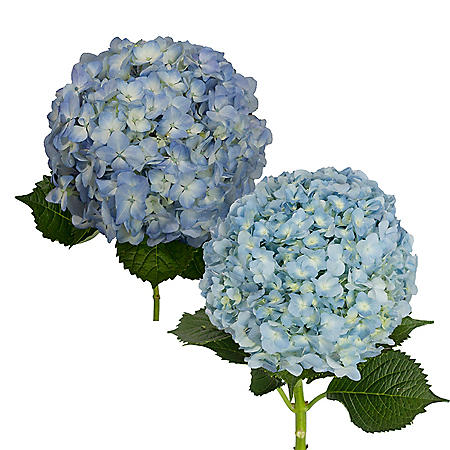 Hydrangea, Blue Jumbo and Natural Combo (20 stems)