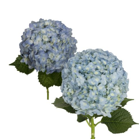 Hydrangea, Blue Jumbo and Natural Combo (20 stems)