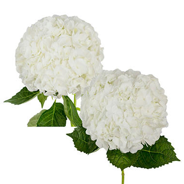 Hydrangea, White Jumbo and Natural Combo (20 stems)