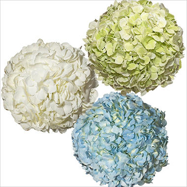 Jumbo Hydrangea, Assorted Colors (12 stems)