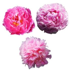 Alaskan Peonies, Pink, Growers Choice (25 stems)