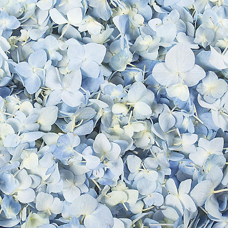 Hydrangea Petals, Blue (choose 16 or 26 packs)