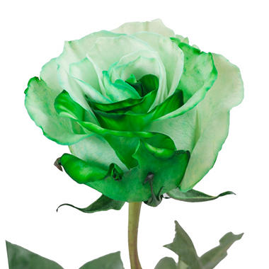 Roses, Tinted Green and White (choose 50, 75 or 100 stems)
