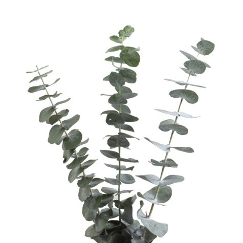 Baby Blue Eucalyptus - 200 Stems