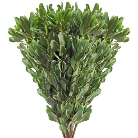 Variegated Pittosporum - 150 Stems
