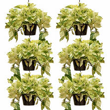 "6 Pack - Pothos Marble Queen 8"" Hanging Basket"