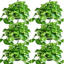 "Golden Pothos 8"" Hanging Baskets - 6 pk."