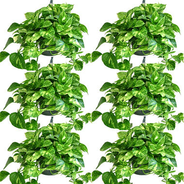 Golden Pothos 8