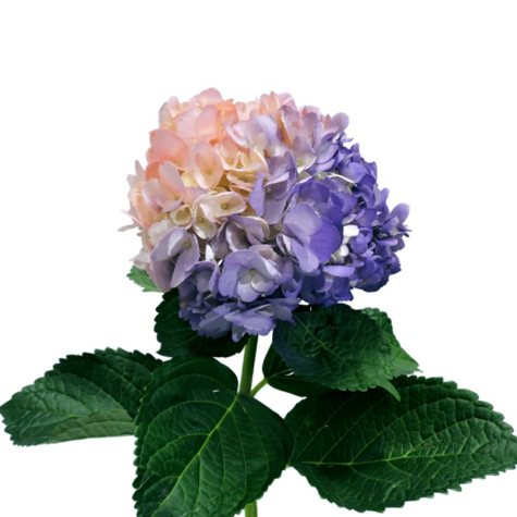 Painted Duotone Hydrangea, Lavender and Pink (choose 14 or 26 stems)