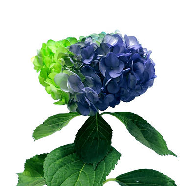 Painted Tritone Hydrangea - Neon Green, Turquoise and Purple (choose 14 or 26 stems)