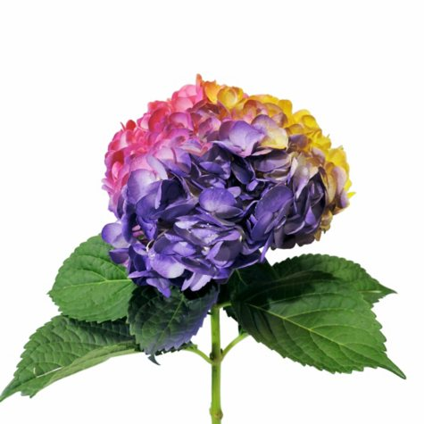 Painted Tritone Hydrangea - Yellow, Hot Pink and Lavender (choose 14 or 26 stems)