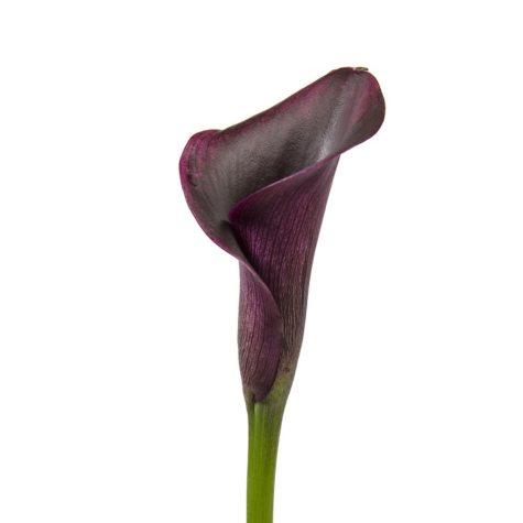 Mini Calla Lily, Black (50 stems)
