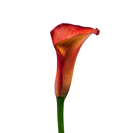 Mini Calla Lily, Orange (choose 50 or 100 stems)