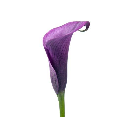 Mini Calla Lily, Purple (50 stems)