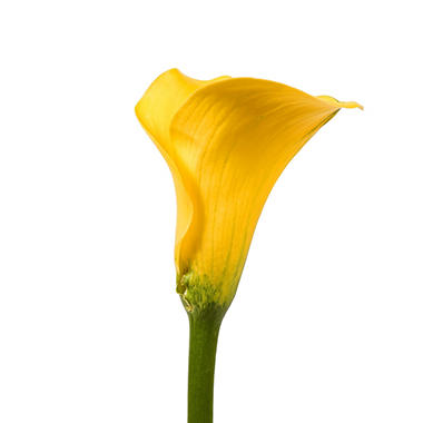 Mini Calla Lily, Yellow (50 stems)