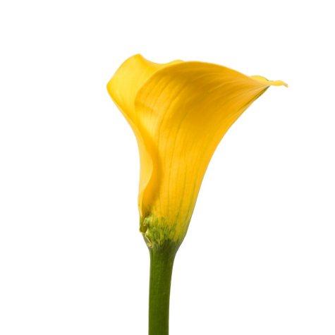 Mini Calla Lily, Yellow (50 stems)