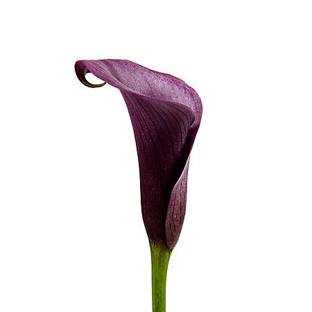 Mini Calla Lily, Dark Purple (50 stems)