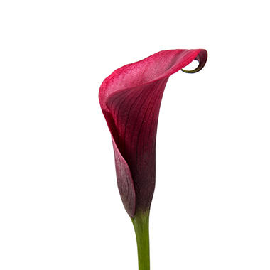 Mini Calla Lily, Cherry (50 stems)